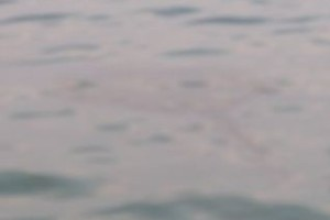 LARGE Sting-Ray cruising the shoreline.