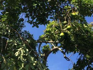 Avocados Getting Ripe in the Tree